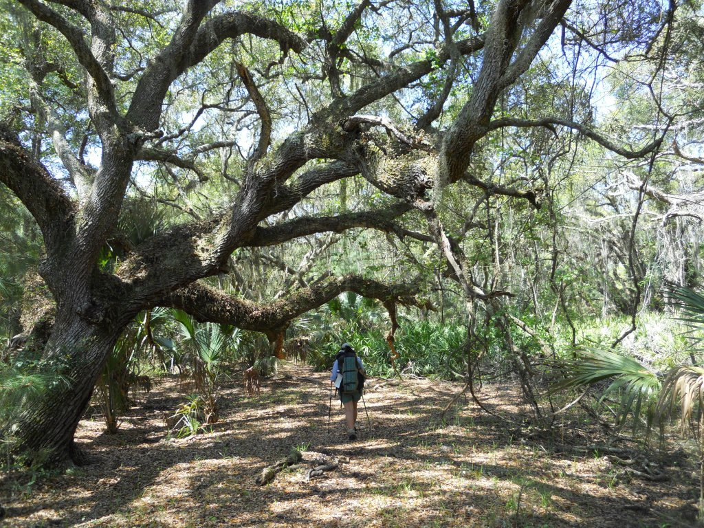 Live_Oaks_at_Cumberland National Seashore